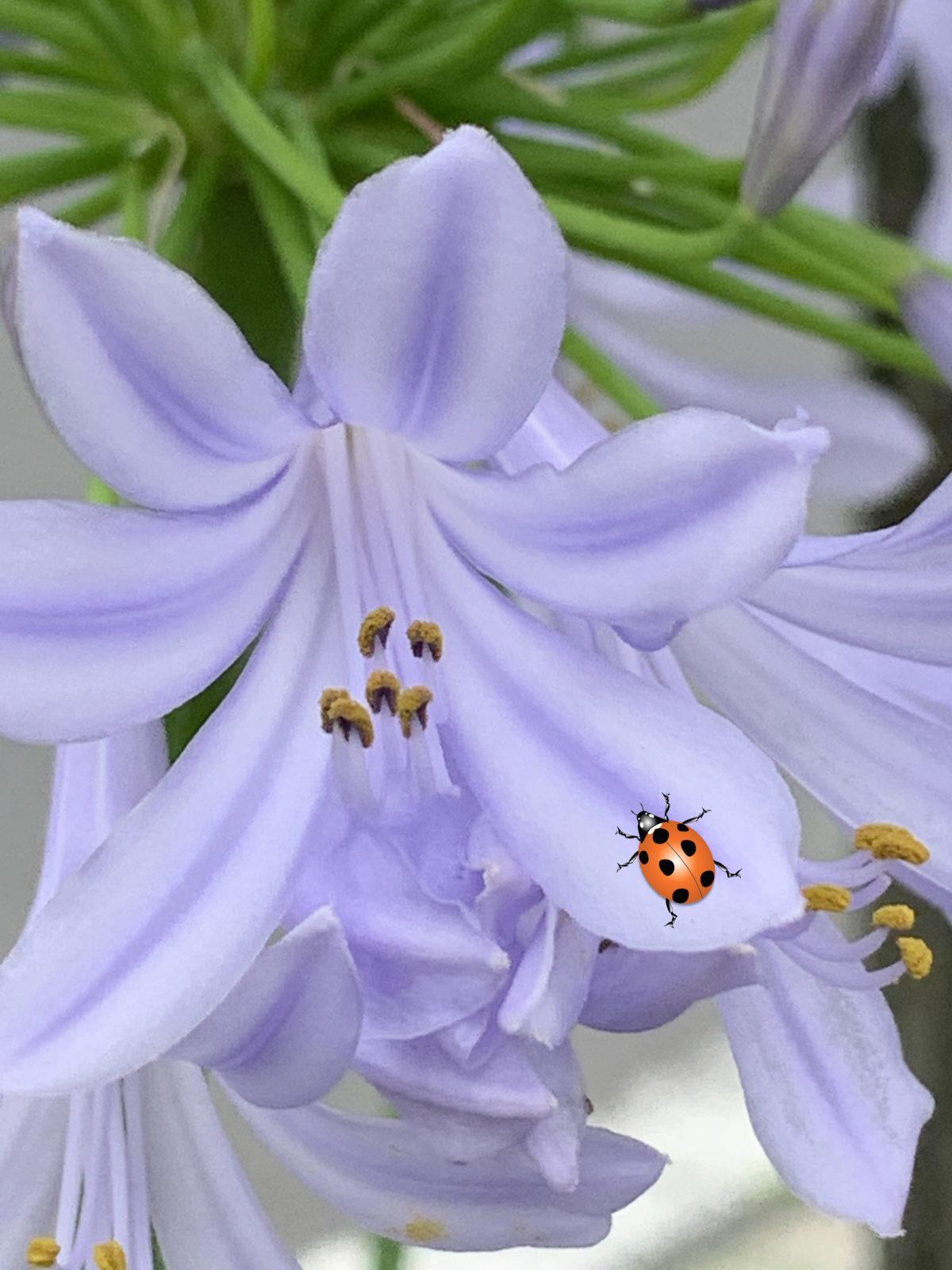 アガパンサス 属名は「愛の花」 和名は紫君子蘭 涼しげな花が魅力です。